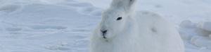 Arctic-Hare-wp