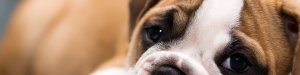 BullDog_Puppy3_by_VictoriaR